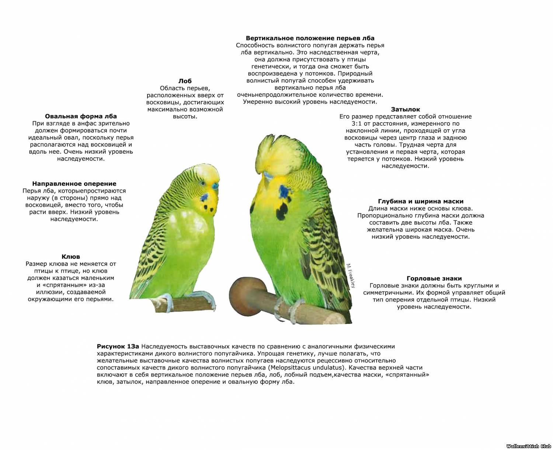 Как пьют попугаи волнистые в домашних условиях